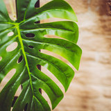 Grande feuille tropicale sur tige_